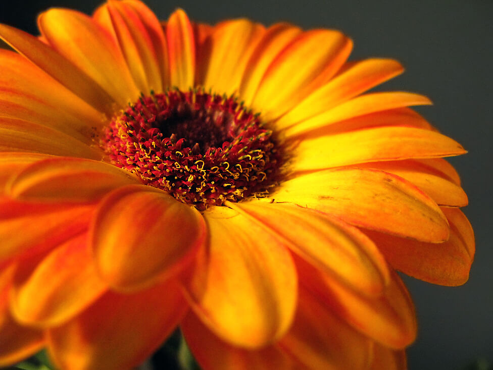 orange-gerbera-daisy